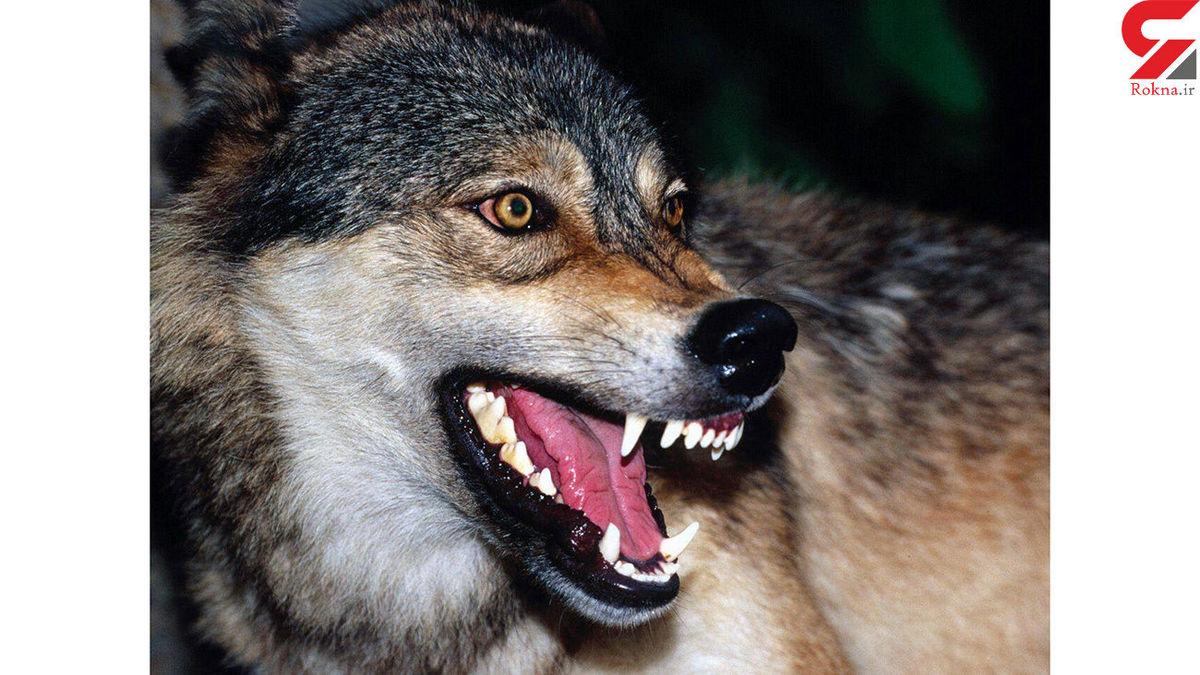 چالدران در وحشت؛ حمله خونین گرگ های گرسنه
